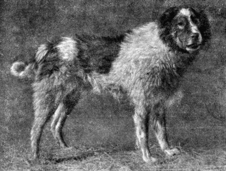 Пастушьи собаки Грузии - Страница 3 I_003