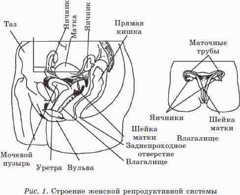 Яичники, небольшие органы