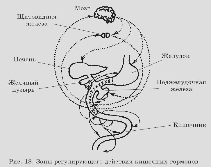 Кишечная гормональная система